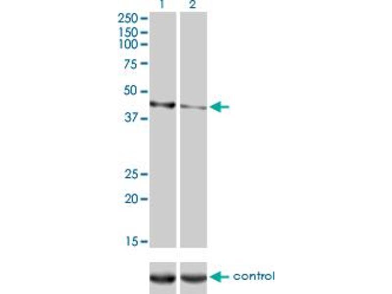 Western Blotting (WB) image for anti-Calreticulin 3 (CALR3) (AA 21-384), (full length) antibody (ABIN530566)
