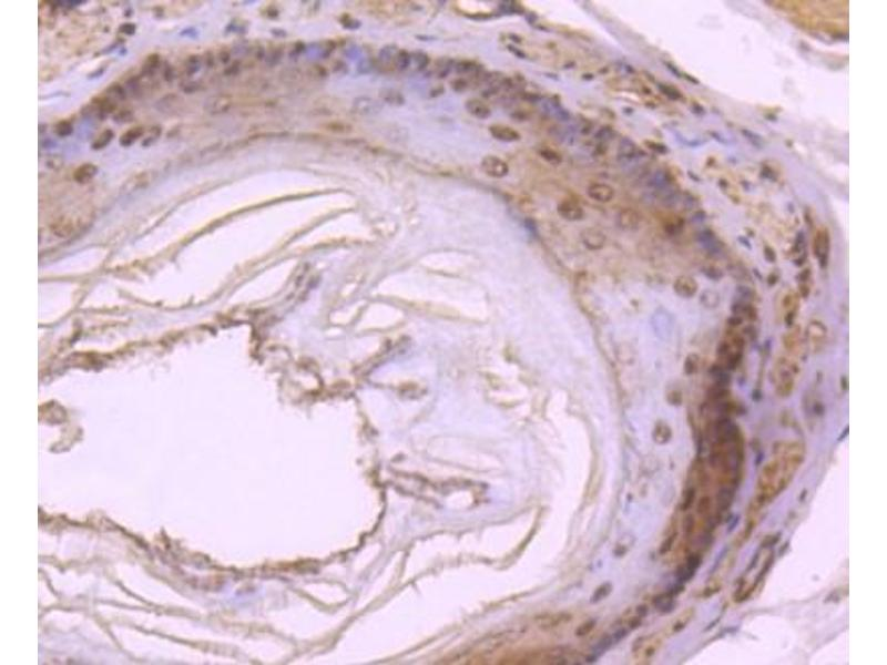 Immunohistochemistry (Paraffin-embedded Sections) (IHC (p)) image for anti-Dynein, Light Chain, LC8-Type 1 (DYNLL1) (N-Term) antibody (ABIN5949168)