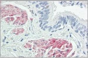 Image no. 1 for anti-Zinc Finger CCCH-Type Containing 8 (ZC3H8) (Internal Region) antibody (ABIN1449750)