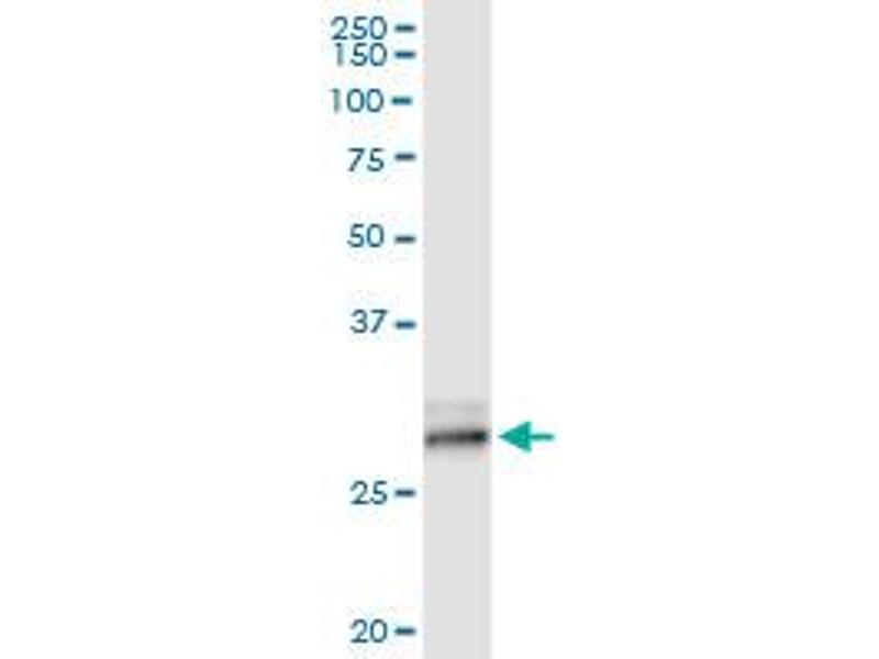 Immunoprecipitation (IP) image for anti-Kallikrein 7 (KLK7) (AA 1-253), (full length) antibody (ABIN519333)