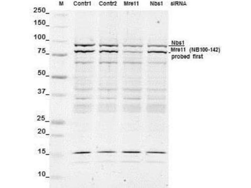 Western Blotting (WB) image for anti-NLRP2 antibody (NLR Family, Pyrin Domain Containing 2) (ABIN151077)