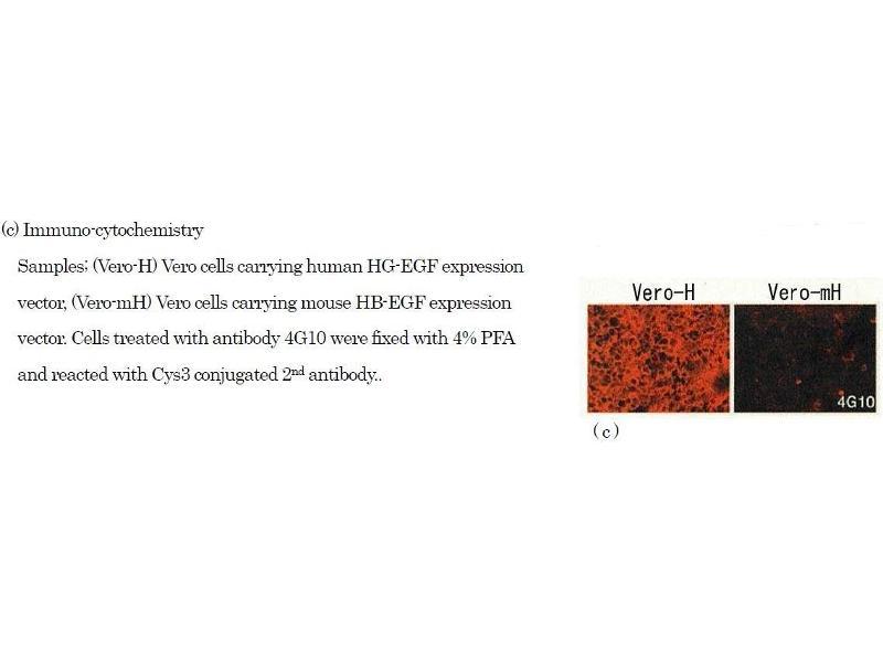Immunohistochemistry (IHC) image for anti-Heparin-Binding EGF-Like Growth Factor (HBEGF) (EGF Like Domain) antibody (Biotin) (ABIN2451994)