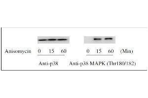 Western Blotting (WB) image for ERK1/2, JNK, p38 MAPK ELISA Kit (ABIN1981832)