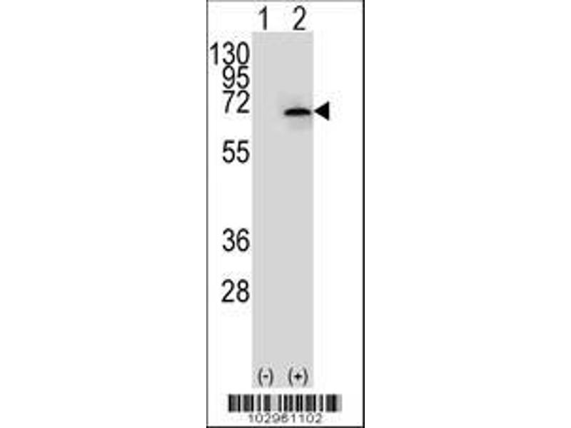 Western Blotting (WB) image for anti-NEK3 (AA 331-361), (Center) antibody (ABIN652427)