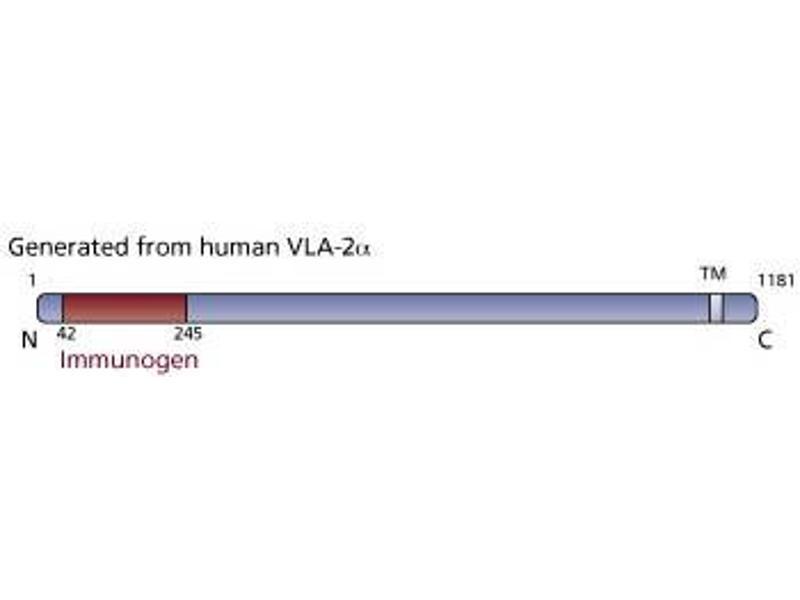 image for anti-Integrin alpha 2 (ITGA2) (AA 42-245) antibody (ABIN968318)