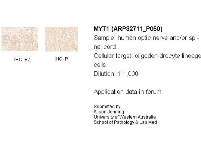 image for anti-Myelin Transcription Factor 1 (MYT1) (N-Term) antibody (ABIN2777540)