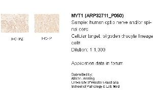 image for anti-Myelin Transcription Factor 1 (MYT1) (N-Term) antibody (ABIN2777540)