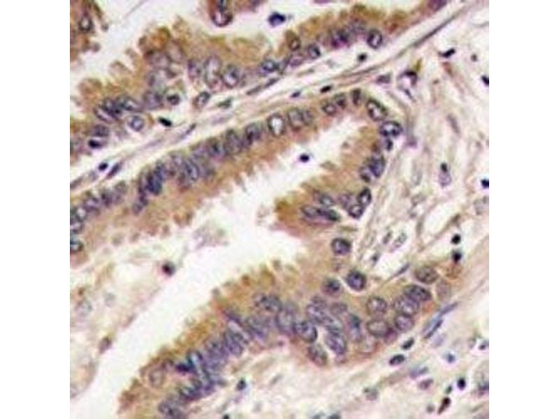 Immunohistochemistry (IHC) image for anti-Mitogen-Activated Protein Kinase 7 (MAPK7) (AA 527-557) antibody (ABIN3031833)