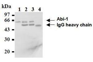 Western Blotting (WB) image for anti-ABI1 antibody (Abl-Interactor 1) (ABIN2853599)