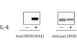 Image no. 1 for Signal Transducer and Activator of Transcription 6, Interleukin-4 Induced (STAT6) ELISA Kit (ABIN4889794)