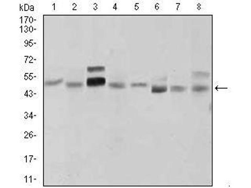 Western Blotting (WB) image for anti-Sonic Hedgehog (SHH) (AA 26-161) antibody (ABIN969567)