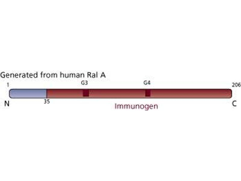 Image no. 3 for anti-Ras-related Protein Ral-A (rala) (AA 35-206) antibody (ABIN967836)