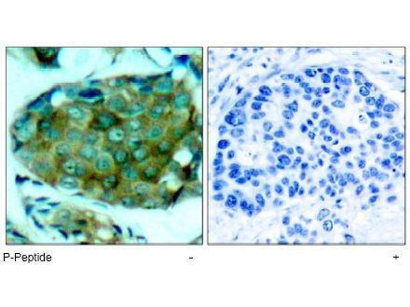 image for anti-Mechanistic Target of Rapamycin (serine/threonine Kinase) (FRAP1) (pSer2448) antibody (ABIN196962)