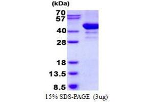 Image no. 1 for ADP-Ribosylation Factor Interacting Protein 2 (ARFIP2) protein (His tag) (ABIN1098383)