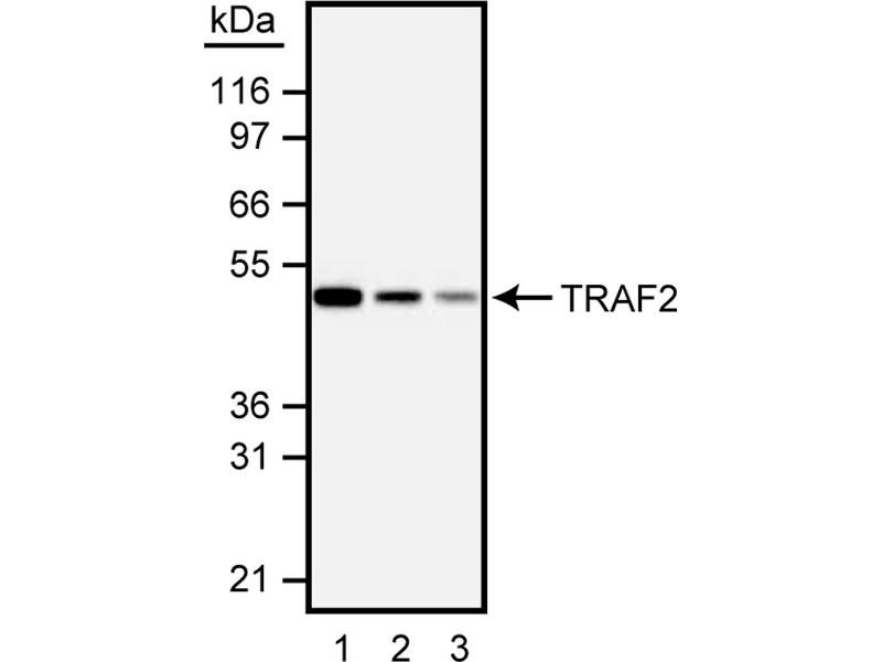 Western Blotting (WB) image for anti-TRAF2 antibody (TNF Receptor-Associated Factor 2) (AA 93-199) (ABIN967631)
