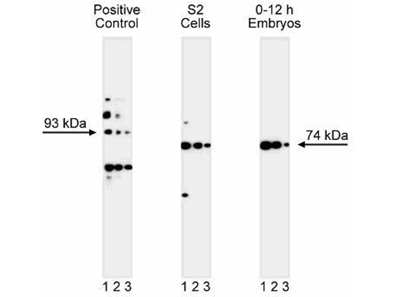 Western Blotting (WB) image for anti-Gephyrin antibody (GPHN) (AA 569-726) (ABIN968898)