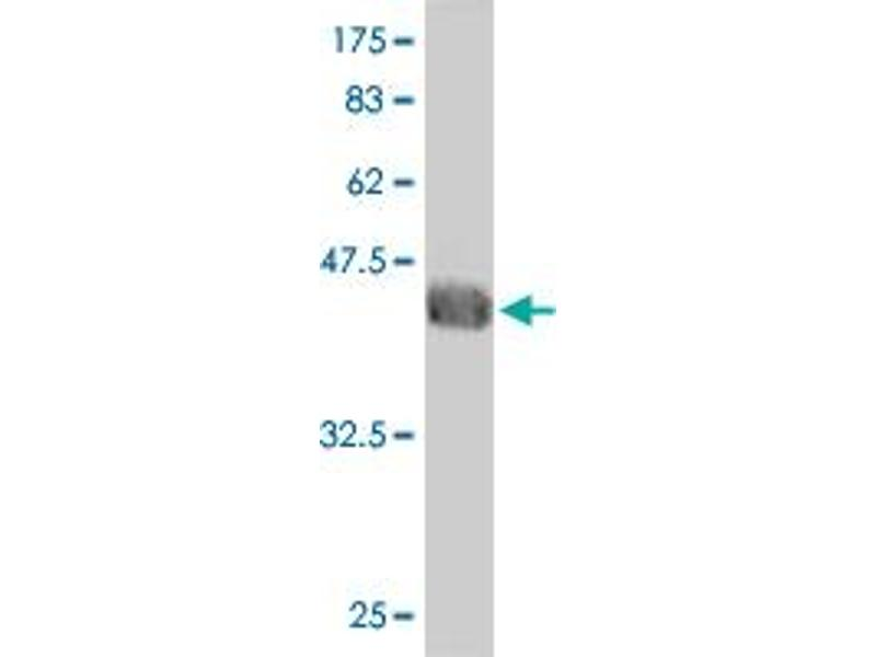 Image no. 3 for anti-General Transcription Factor IIA, 1-Like (GTF2A1L) (AA 251-348) antibody (ABIN564784)