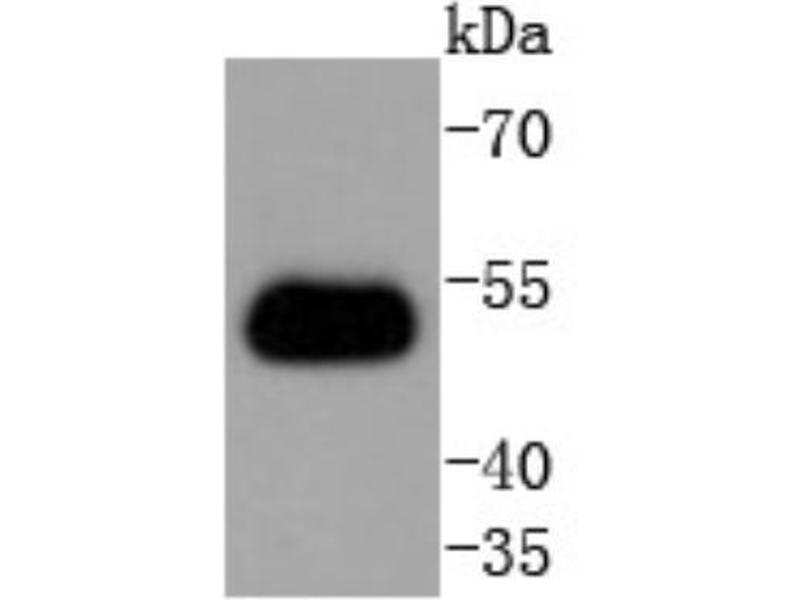 Western Blotting (WB) image for anti-TNF Receptor-Associated Factor 2 (TRAF2) (AA 1-100) antibody (ABIN5949579)