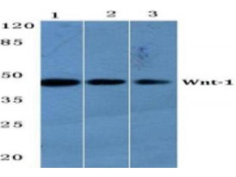 Western Blotting (WB) image for anti-Wingless-Type MMTV Integration Site Family, Member 1 (WNT1) antibody (ABIN408121)