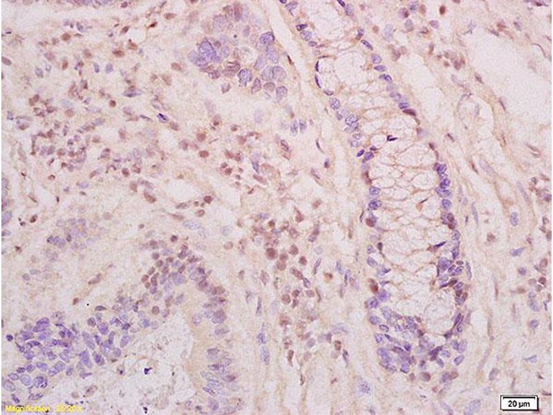 Image no. 1 for anti-Kallikrein 6 (KLK6) (AA 200-240) antibody (ABIN759101)