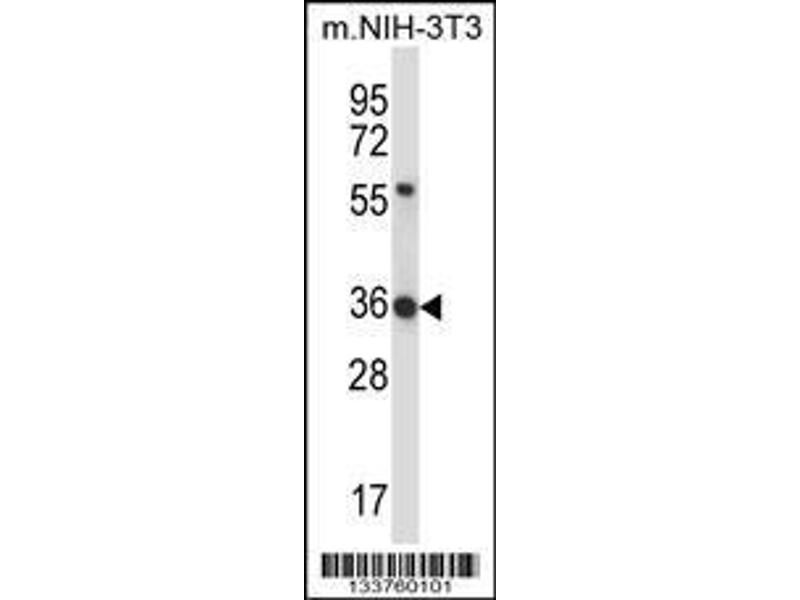 Western Blotting (WB) image for anti-Hexamethylene Bis-Acetamide Inducible 1 (HEXIM1) (AA 18-46), (N-Term) antibody (ABIN657913)