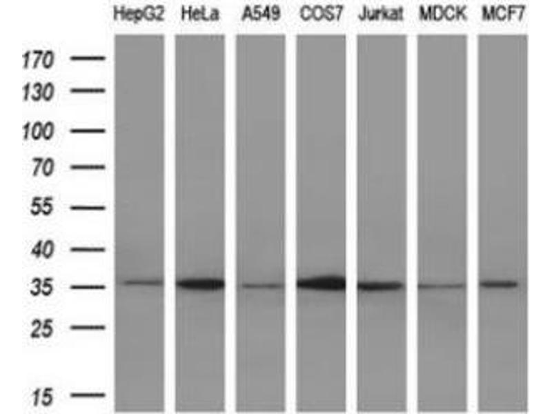 Western Blotting (WB) image for anti-Interleukin 1 alpha (IL1A) antibody (ABIN4324360)