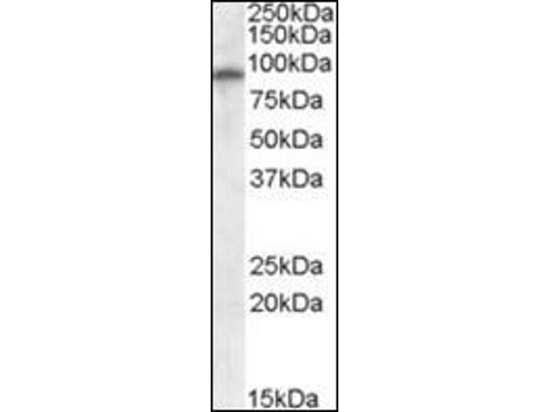 Western Blotting (WB) image for anti-Glutamate Receptor, Ionotrophic, AMPA 4 (GRIA4) (Internal Region) antibody (ABIN614977)
