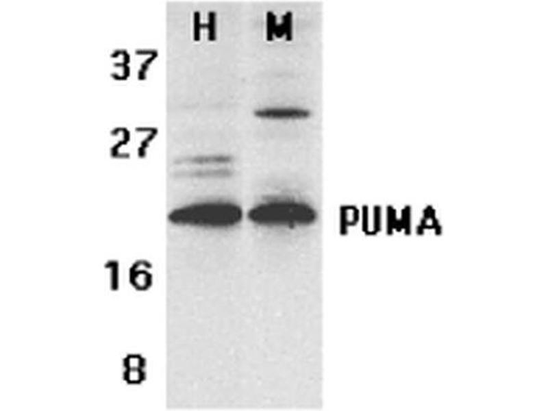 Western Blotting (WB) image for anti-BCL2 Binding Component 3 (BBC3) (C-Term) antibody (Atto 594) (ABIN2485947)