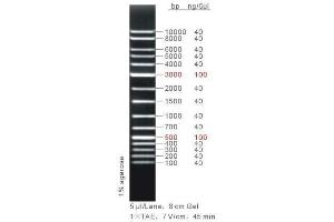 Agarose Gel Electrophoresis (AGE) image for 1Kb DNA Marker Plus (ABIN1540474)