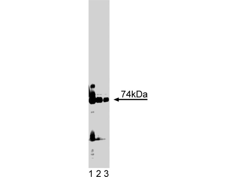 Western Blotting (WB) image for anti-PKC iota antibody (Protein Kinase C, iota) (AA 397-558) (ABIN967826)