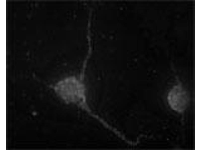 Immunofluorescence (IF) image for anti-Syntaxin 7 (STX7) (N-Term) antibody (ABIN350938)