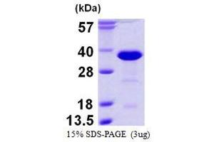 Image no. 1 for RAN Binding Protein 1 (RANBP1) protein (His tag) (ABIN1098236)