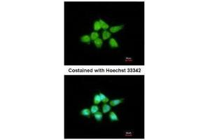 Image no. 1 for anti-Dual Specificity Phosphatase 8 (DUSP8) (N-Term) antibody (ABIN2854670)