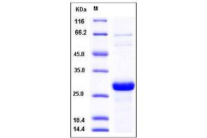 Image no. 1 for Synaptosomal-Associated Protein, 25kDa (SNAP25) (AA 1-206) protein (His tag) (ABIN2004395)