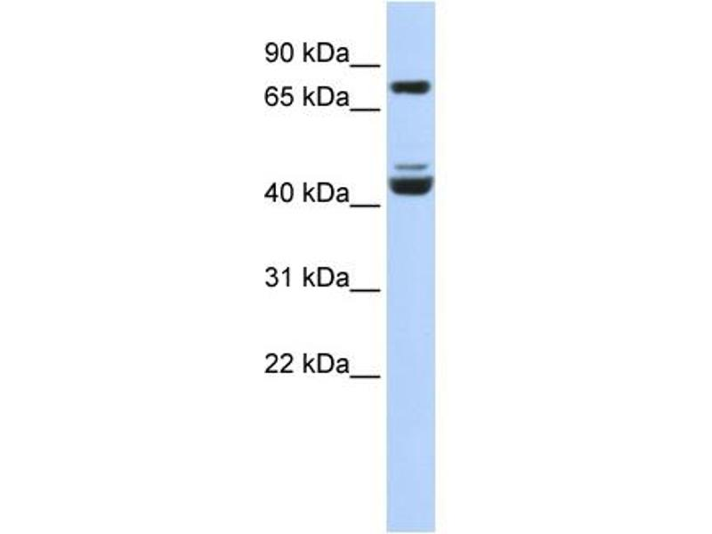 Western Blotting (WB) image for anti-Kruppel-Like Factor 2 (Lung) (KLF2) (Middle Region) antibody (ABIN2777573)