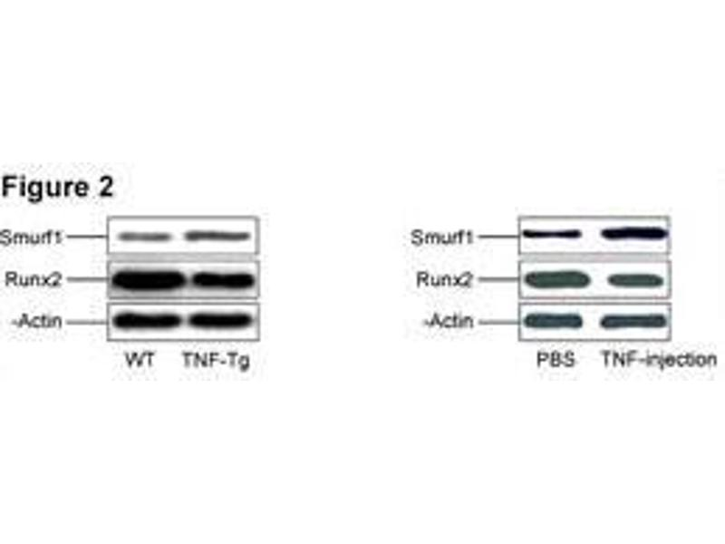 Western Blotting (WB) image for anti-SMURF1 antibody (SMAD Specific E3 Ubiquitin Protein Ligase 1) (AA 66-96) (ABIN388828)