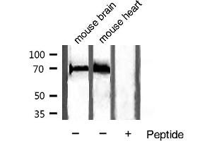 Image no. 2 for anti-Heat Shock 70kDa Protein 8 (HSPA8) antibody (ABIN6262373)