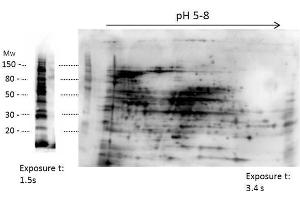 Western Blotting (WB) image for anti-HMW Host Cell Proteins (HMW HCP) antibody (ABIN5596741)