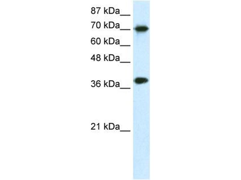Western Blotting (WB) image for anti-Transcription Elongation Factor A (SII), 1 (TCEA1) (N-Term) antibody (ABIN182803)