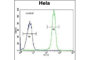 Image no. 2 for anti-Collagen, Type IV, alpha 2 (COL4A2) (AA 156-186), (N-Term) antibody (ABIN5535074)