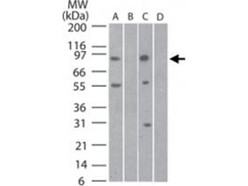Image no. 1 for anti-Toll-Like Receptor 11 (Tlr11) antibody (ABIN537382)