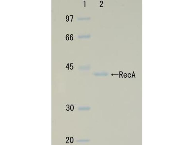 SDS-PAGE (SDS) image for RecA (Active) protein (ABIN2452179)