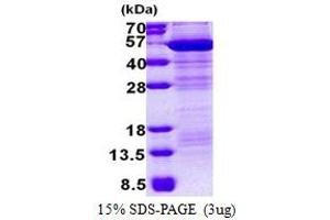 Image no. 1 for Macrophage erythroblast Attacher (MAEA) (AA 1-396) protein (His tag) (ABIN5853143)