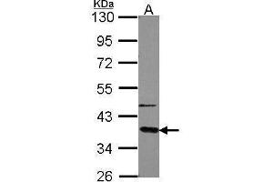 Image no. 3 for anti-Guanine Nucleotide Binding Protein (G Protein), alpha Transducing Activity Polypeptide 2 (GNAT2) (Center) antibody (ABIN2856958)