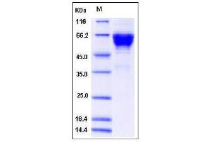 Image no. 1 for CD300a Molecule (CD300A) (AA 1-183), (Extracellular Domain) protein (Fc Tag) (ABIN2008146)