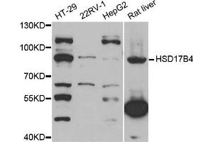 Image no. 1 for anti-Hydroxysteroid (17-Beta) Dehydrogenase 4 (HSD17B4) antibody (ABIN1882319)