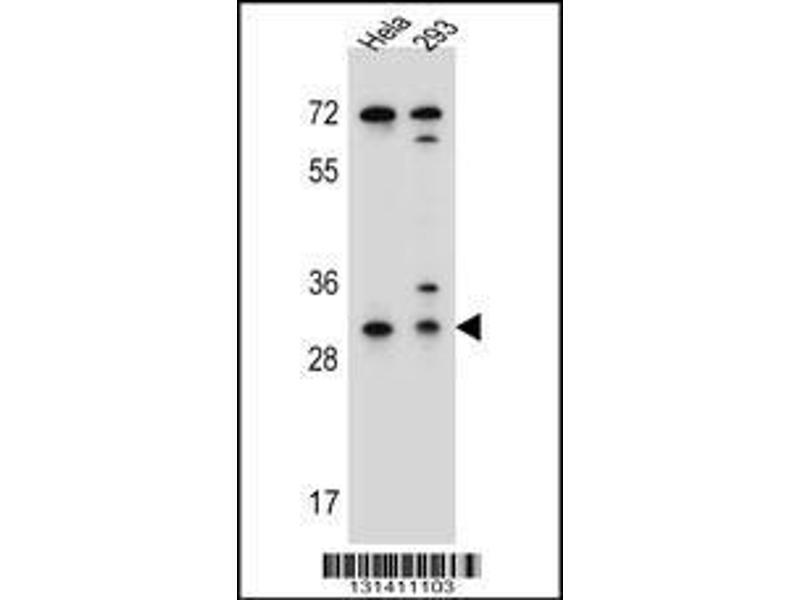 Western Blotting (WB) image for anti-Ephrin B2 antibody (EFNB2) (AA 157-186) (ABIN655599)