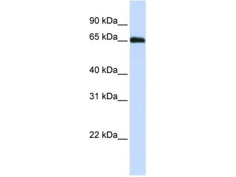 Western Blotting (WB) image for anti-DDB1 and CUL4 Associated Factor 11 (DCAF11) (N-Term) antibody (ABIN405493)