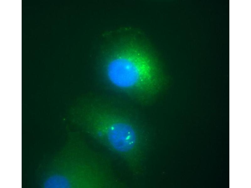 Image no. 1 for anti-Death-Domain Associated Protein (DAXX) (AA 558-740) antibody (ABIN94302)