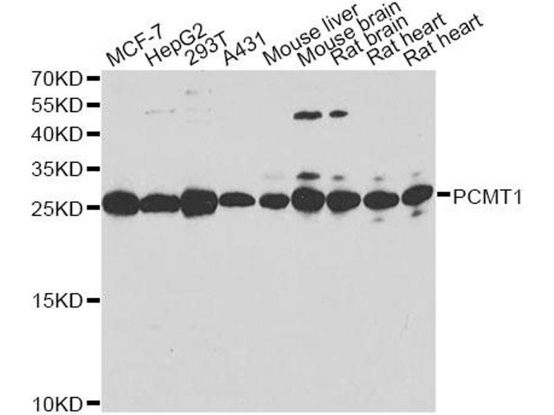 Western Blotting (WB) image for anti-Protein-L-Isoaspartate (D-Aspartate) O-Methyltransferase (PCMT1) antibody (ABIN6570624)